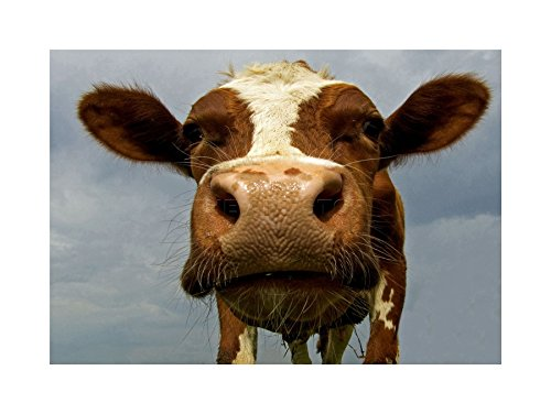 FUNNY COW FARM ANIMAL CLOSE UP PHOTO FRAMED ART PRINT PICTURE & MOUNT F12X362