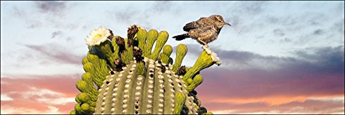 12 x 36 inch panoramic photograph of Cactus Wren bird perched on Saguaro green cactus on white blooming flower during Sonoran desert sunset. by Bob Estrin Fine Art Photography
