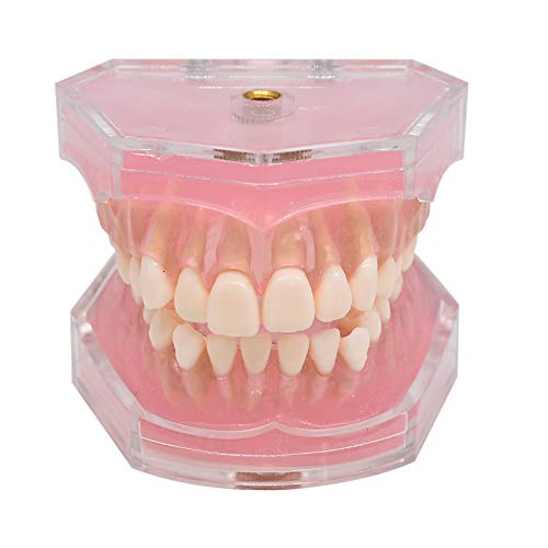 Wecando Dental Demonstration Teeth Model - Standard Study Teaching Dental Mode with All Removable Teeth