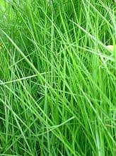 The Dirty Gardener Zenith Zoysia Grass Seed - 5 Pounds by The Dirty Gardener (Image #2)