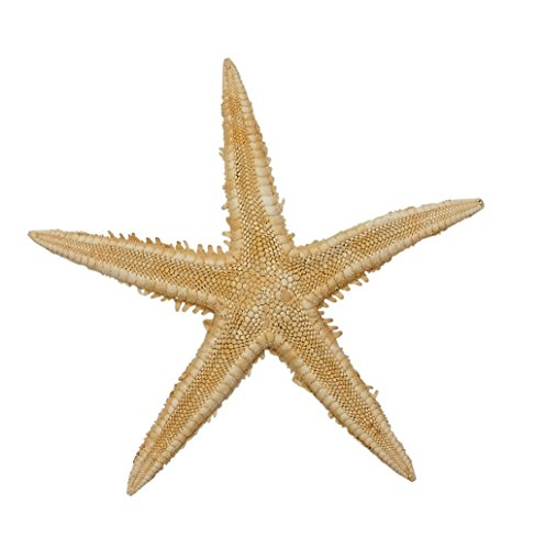 100 Mini Starfish 3-4'' - Natural Color (Set of 100) Beach Decor Crafts by The Seashell Company