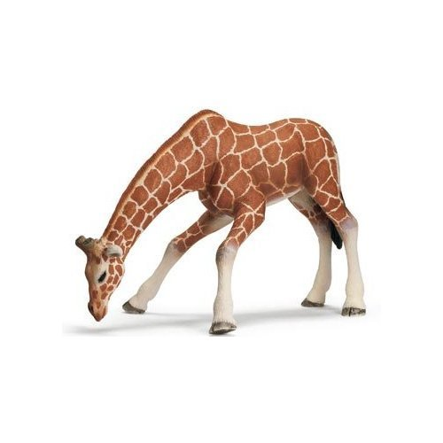 Giraffe Female, Drinking ()