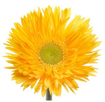 (AGERF)~FESTIVAL YELLOW SPIDER GERBERA DAISY~Seed!!!!~Wild & Wooly!