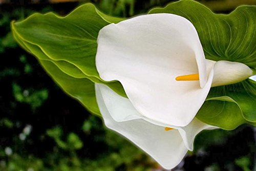 2 Calla Aethiopica Lily Bulb White Color Flower Summer Blooming