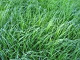 The Dirty Gardener Tiffany Teff Grass Seed, 5 Pounds