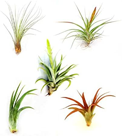 Amazon Com Wholesale Air Plants Best Seller Variety Pack Of 33