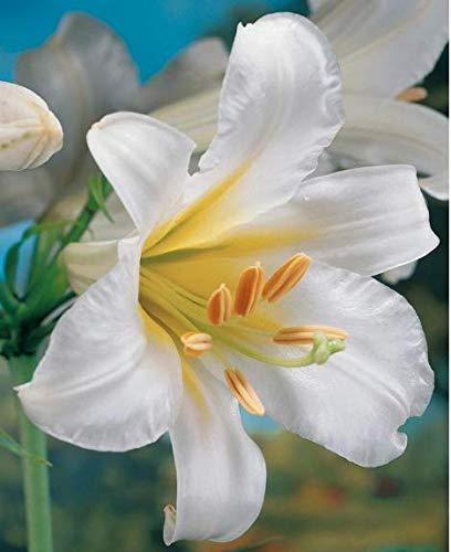 1 Regale Trumpet Lily Bulb - Bareroot Grows 4-5 Feet Tall