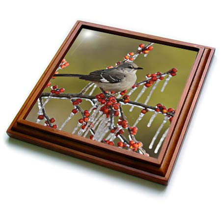 (3dRose Danita Delimont - Birds - Northern Mockingbird on icy branch of Holly with berries, Texas, USA - 8x8 Trivet with 6x6 ceramic tile)