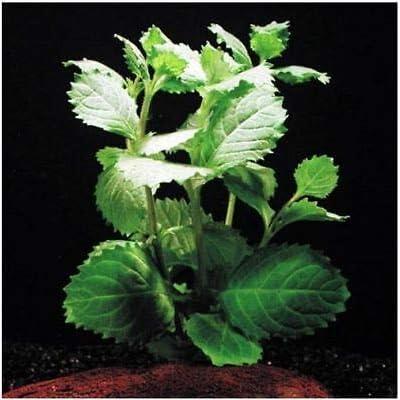 3 Bunch - Hygrophila Difformis Water Wisteria Fresh APF Aquarium Plants Factory : Garden & Outdoor