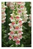 David's Garden Seeds Flower Snapdragon Potomac Appleblossom SL1945 (Pink) 50 Non-GMO, Hybrid Seeds