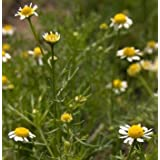 Chamomile Flower, Whole - Wildcrafted - Matricaria recutita (454g = One Pound) Brand: Herbies Herbs