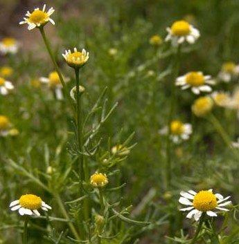 Chamomile Flower, Whole - Wildcrafted - Matricaria recutita (454g = One Pound) Brand: Herbies Herbs