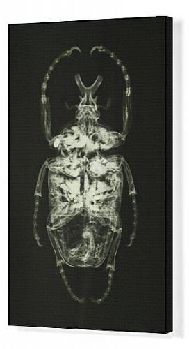 Amazonde Leinwanddruck Goliathkäfer Goliatus Goliath Käfer