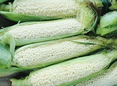 David's Garden Seeds Corn Sweet Country Gentleman DSGC126 (White) 100 Heirloom Seeds