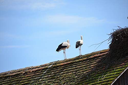 Home Comforts Canvas Print Rattle Stork Storks Animals White Storks Birds Vivid Imagery Stretched Canvas 32 x 24