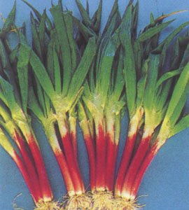 *Seeds and Things 200 Red Beard Bunching Onion Seeds, This Popular Specialty Red-stalked Bunching Onion Has a Mild Pungent Flavor and Tender Le, This Popular Specialty Red-stalked Bunching Onion Has a Mild Pungent Flavor and Tender Leaves. Easy to Grow an