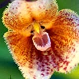 Seeds Shopp - Rare Japanese Monkey face Orchid Seed DIY Home Garden Plants Pot Bonsai Flowers Seeds 120pcs Cheap!