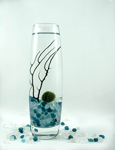 Marimo Moss Ball Long Vase Live Terrarium With Frosty Blue, White Pebbles (Frosty Pebbles)