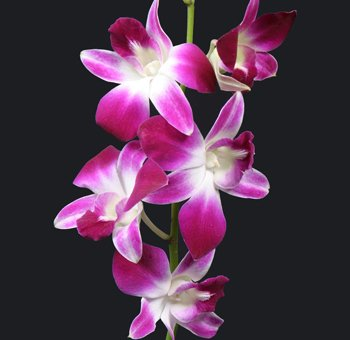 Dendrobium Orchid Stater Plant Hawaiian – 4 Pack #F4 by Discount Hawaiian Gifts