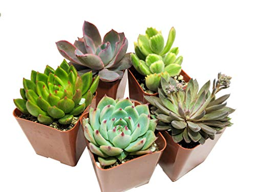 Real Live Succulent Plants (5 Pack), Fully Rooted in Planter Pots with Soil - Unique Indoor Cactus Decor by The Succulent Cult by The Succulent Cult (Image #3)