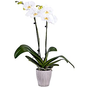 DecoBlooms Living White Orchid Plant – 5 inch Blooms – Fresh Flowering Home Décor