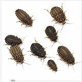 (生餌)デュビア(アルゼンチンモリゴキブリ) SMサイズ 50グラム(約75匹) 爬虫類 大型魚 餌 エサ 本州・四国限定[生体]