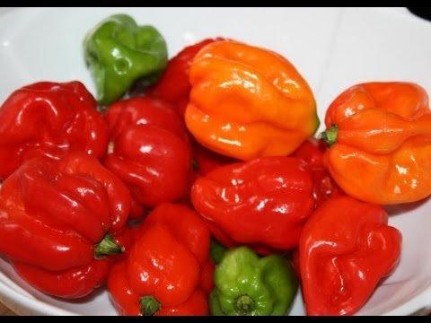 Live Plant- Authentic Red Jamaican Scotch Bonnet Pepper (3 Plants) Late Season (80-90 days); C.chinense. (Best 25 Year Scotch)