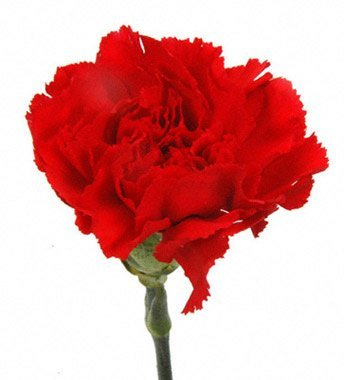 Amazoncom Cut Flowers Red Carnations Garden Outdoor