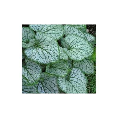 Brunnera macrophylla 'Jack Frost' - Heartleaf Brunera : Shrub Plants : Garden & Outdoor
