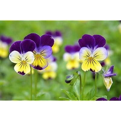 Grandiosy Viola Johnny Jump UP : Garden & Outdoor