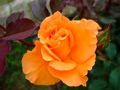 10 Orange Rose Seeds