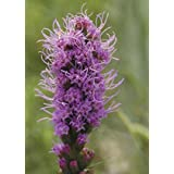 Spiked Blazing Star (Liatris spicata), 200 Certified Pure Live Seed, True Native Seed