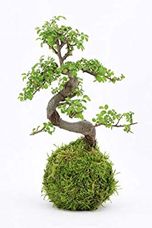 Bonsai tree - LIVE 8 year old Chinese elm, indoor house plant with moss  ball - 28cm high