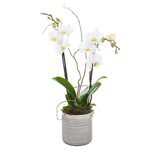 Living Phalaenopsis in Light Grey Ceramic pot - Petite White Blooms