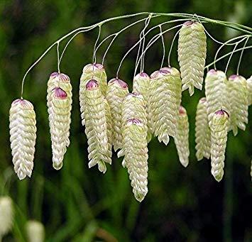Amazon.com: Semillas de césped de hierba de cocinero – Briza ...