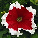 100pcs/bag Climbing Mandevilla Sanderi seeds,Dipladenia sanderi seeds,Bonsai Flower Plant for decoration home&courtyard wall pot