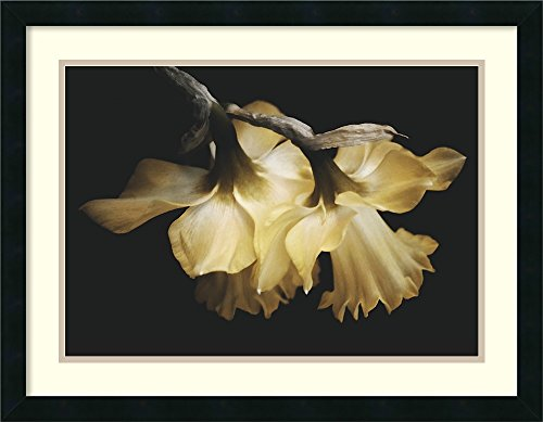 Amanti Art Framed Home Wall Art Prints   Sunning Daffodils by David Lorenz Winston   Modern Contemporary ()