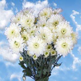 Amazon globalrose 36 fresh cut white chrysanthemum cushion globalrose 36 fresh cut white chrysanthemum cushion flowers fresh flowers for birthdays weddings or mightylinksfo