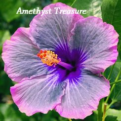 Amethyst Treasure Hibiscus, Hibiscus Seeds, 10 Seeds, Perennial Hibiscus, Hibiscus -
