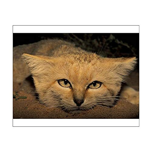 Media Storehouse 10x8 Print of Sand cat (Felis Margarita harrisoni) (15469786)