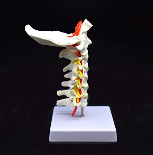 Cervical Vertebra Arteria Spine Spinal Nerves Anatomical Model Anatomy for Science Classroom Study Display Teaching Medical Model by shawn science (Image #2)