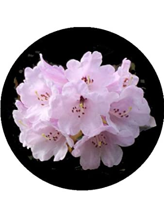 75 Rhododendron Flower Cake Toppers Decorations on Edible Wafer