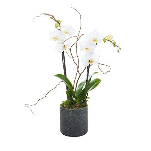 Living Phalaenopsis in Patina Ceramic pot - Petite White Blooms -