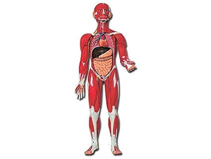 GiMa 40019 Typ Muskulatur menschlichen Körper, Lieferumfang 1 Stück ...