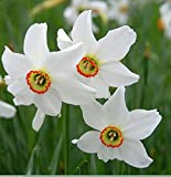 Bulbs (Size 12/14) of Narcissus, Daffodils (10 Bulbs, Poeticus Recurvus)