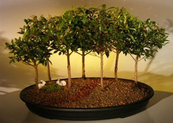 Bonsai Boy's Flowering Brush Cherry Bonsai Tree Seven Tree Forest Group eugenia myrtifolia by Bonsai Boy