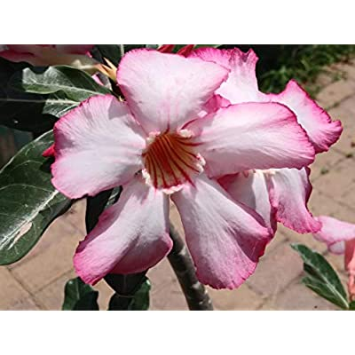 Fresh Seeds Adenium Obesum Seeds Mixed Colors Desert Rose 100 Pack Single and Multi Colored Flowers Fresh Seeds : Garden & Outdoor