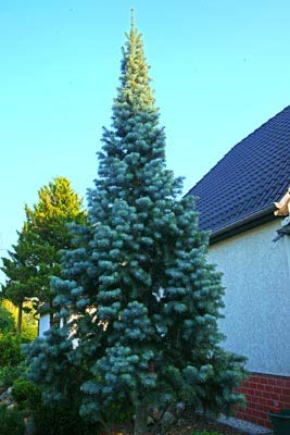 Abies Concolor Coloradotanne Fastigiata 60 80 Cm 1 Stk