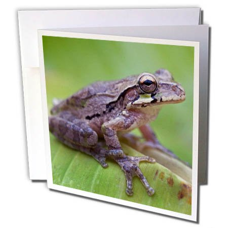 3dRose Danita Delimont - Frogs - Common Mexican tree frog, Baudini smilisca, Costa Rica - 1 Greeting Card with envelope (gc_258574_5)