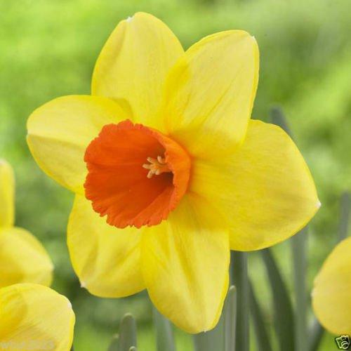 10 Daffodil - 8